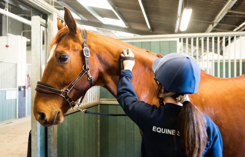 Equine Studies student brushing horse in stable